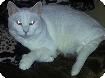 Domestic Shorthair Cat for adoption in Pasadena, California - Beemer