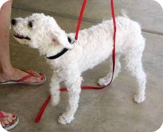 Miniature Poodle Mix Dog for adoption in Chandler, Arizona - Fifi