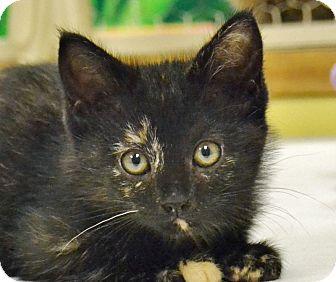 Domestic Shorthair Kitten for adoption in Searcy, Arkansas - Kimi