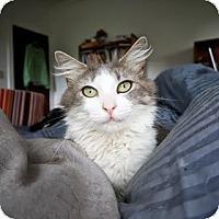 Adopt A Pet :: Huckleberry - Chicago, IL