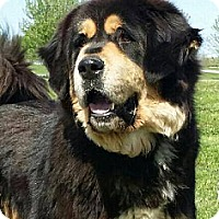 Adopt A Pet :: Bear- Pure ! - Chandler, IN