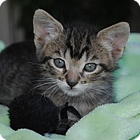Adopt A Pet :: Enzo (aka Little Tabby Boy) - Palmdale, CA
