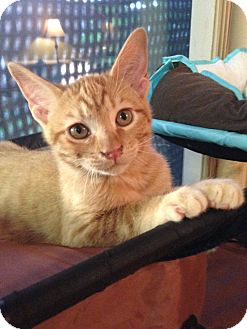Domestic Shorthair Kitten for adoption in Coppell, Texas - Chester