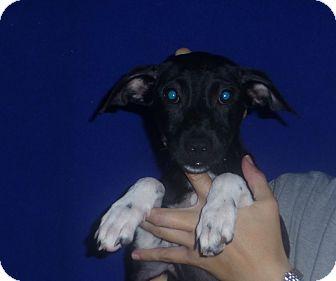 Beagle Mix Puppy for adoption in Oviedo, Florida - Faith