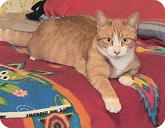 Domestic Shorthair Cat for adoption in Elmwood Park, New Jersey - Carley