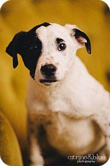 Dalmatian/Pit Bull Terrier Mix Puppy for adoption in Portland, Oregon - Domino