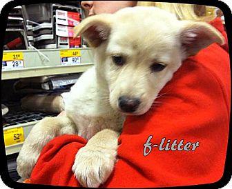 German Shepherd Dog Mix Puppy for adoption in Ahoskie, North Carolina - f-litter1