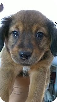 Spaniel (Unknown Type) Mix Puppy for adoption in Lima, Pennsylvania - Sugar
