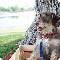 Adopt A Pet :: HENRI - Higley, AZ