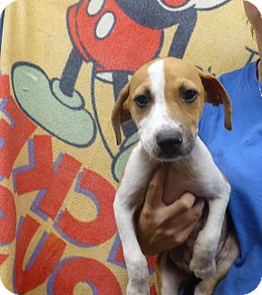 Beagle Mix Puppy for adoption in Oviedo, Florida - Shelby