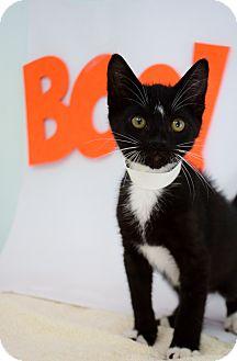 Domestic Shorthair Kitten for adoption in Bradenton, Florida - Black Beauty