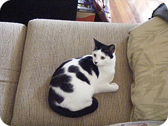 American Shorthair Cat for adoption in Ringgold, Georgia - Mookie