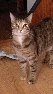 Domestic Shorthair Cat for adoption in Carlisle, Pennsylvania - Morgan