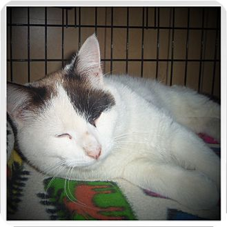 Snowshoe Cat for adoption in Medford, Wisconsin - MERVIN