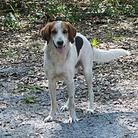 Treeing Walker Coonhound/Border Collie Mix Dog for adoption in Lake Pansoffkee, Florida - Sami
