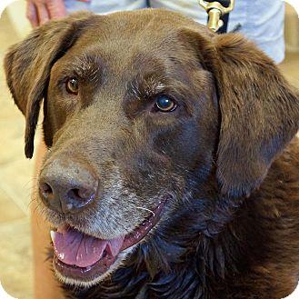 Labrador Retriever Mix Dog for adoption in Sprakers, New York - Charlie