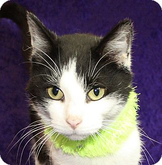 Domestic Shorthair Cat for adoption in Jackson, Michigan - Riley