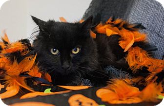 Domestic Longhair Kitten for adoption in Muskegon, Michigan - Binx