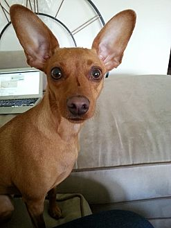 Miniature Pinscher Dog for adoption in Syracuse, New York - Olivia