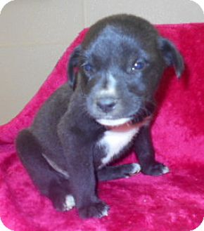 Labrador Retriever/Hound (Unknown Type) Mix Puppy for adoption in Allentown, New Jersey - Luca
