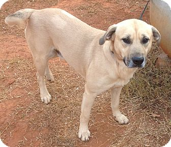 Labrador Retriever Mix Dog for adoption in Westport, Connecticut - Clint