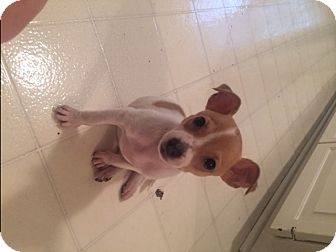 Chihuahua/Jack Russell Terrier Mix Puppy for adoption in Houston, Texas - Lulu
