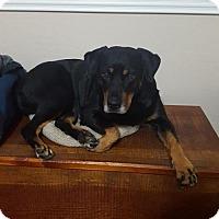 Adopt A Pet :: ZOEY 8 - Chandler, AZ