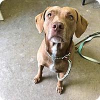 Adopt A Pet :: LILLY - Cadiz, OH
