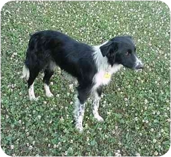 Border Collie Dog for adoption in Tiffin, Ohio - Grace