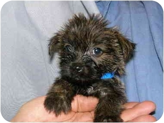 Cairn Terrier Mix Puppy for adoption in North Benton, Ohio - Lucky