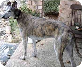 Greyhound Dog for adoption in Dallas, Texas - Chief