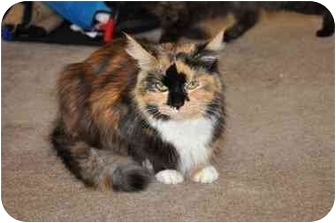 Calico Cat for adoption in Youngwood, Pennsylvania - Sissy