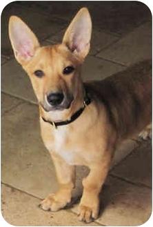 Corgi/Basset Hound Mix Dog for adoption in Poway, California - Noodle
