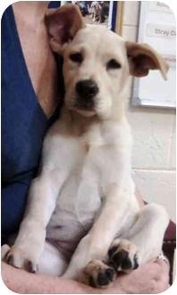 Labrador Retriever Mix Puppy for adoption in Marietta, Georgia - Ava