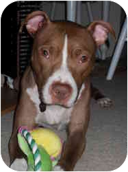 American Pit Bull Terrier Mix Dog for adoption in Raritan, New Jersey - Lily