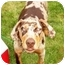 Photo 1 - Catahoula Leopard Dog Dog for adoption in Osseo, Minnesota - Bubba