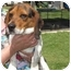 Photo 1 - Beagle Dog for adoption in Mahwah, New Jersey - Beethoven
