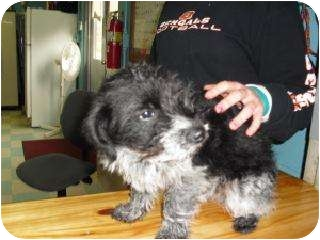 Poodle (Standard)/Scottie, Scottish Terrier Mix Dog for adoption in Edon, Ohio - Ember..ADOPTED