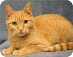 Domestic Shorthair Cat for adoption in Sacramento, California - Ginger Snap