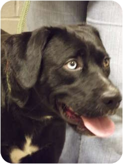 Labrador Retriever Mix Dog for adoption in Defiance, Ohio - Delaney