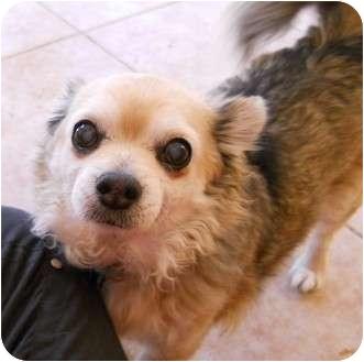 Chihuahua Dog for adoption in dewey, Arizona - Taco