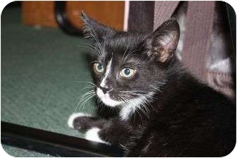Domestic Shorthair Kitten for adoption in Little Falls, New Jersey - Tyney