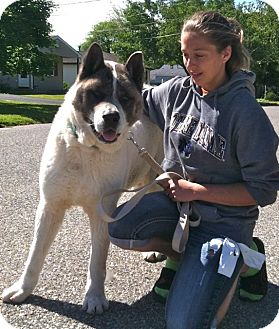 Akita Dog for adoption in Toms River, New Jersey - Nick