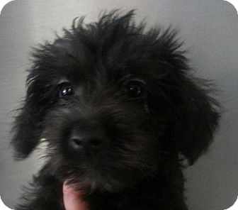 Maltese/Yorkie, Yorkshire Terrier Mix Puppy for adoption in Silver Lake, Wisconsin - MORTICIA