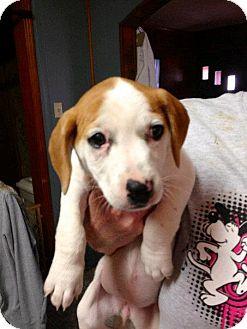 Jack Russell Terrier/Basset Hound Mix Puppy for adoption in Hartford, Connecticut - Winnie