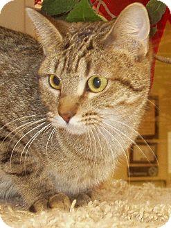 Domestic Shorthair Cat for adoption in Hastings, Nebraska - Jingle