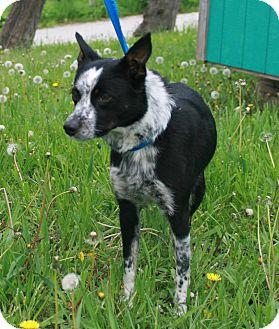Blue Heeler Mix Dog for adoption in Atchison, Kansas - Daisy