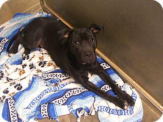Labrador Retriever/Australian Cattle Dog Mix Puppy for adoption in Kelseyville, California - Ralph