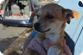 Chihuahua Mix Puppy for adoption in Westminster, Colorado - Star