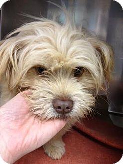 Shih Tzu/Westie, West Highland White Terrier Mix Puppy for adoption in Simpsonville, South Carolina - Beau